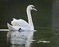 Mute swan (34547827755).jpg