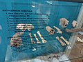 Muzej Vojvodine, kosti domaćih životinja.jpg