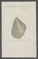 Mytilus achatinus - - Print - Iconographia Zoologica - Special Collections University of Amsterdam - UBAINV0274 076 01 0020.tif