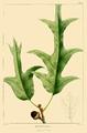 NAS-023f Quercus falcata.png