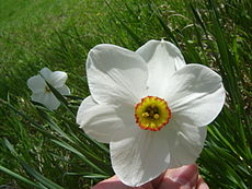 Narcissus poeticus (Flower Closeup).jpg
