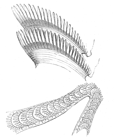 Natural History - Mollusca - Eolis tongue teeth.png