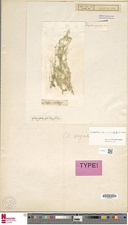 Naturalis Biodiversity Center - L.4100521 - Cladophora vagabunda (L.) C.Hoek - Chlorophyceae - Plant type specimen.jpeg