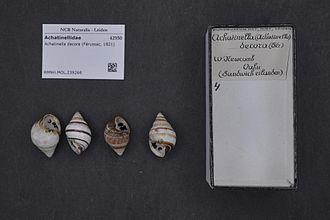 Achatinella decora - Achatinella decora shells.