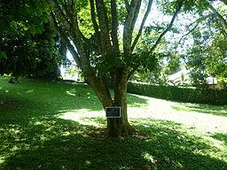 Nedun Tree (Pericopsis Mooniana-Fabaceae) I