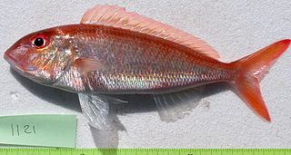 <i>Nemipterus</i> genus of fishes