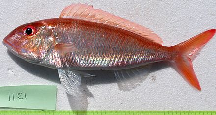 Fork-tailed threadfin bream (Nemipterus furcosus) from off New Caledonia Nemipterus furcosus JNC1121.JPG