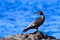 Neotropic Cormorant (8258749216).jpg