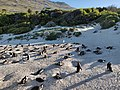 Nesting African Penguins on Boulders Beach.jpg