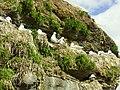 Nesting seagulls on Ekkerøy.jpg