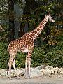 Netzgiraffe (Giraffa camelopardalis reticulata) Tierpark Hellabrunn-23.jpg