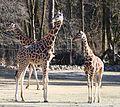 Netzgiraffe (Giraffa camelopardalis reticulata) Tierpark Hellabrunn-26.jpg