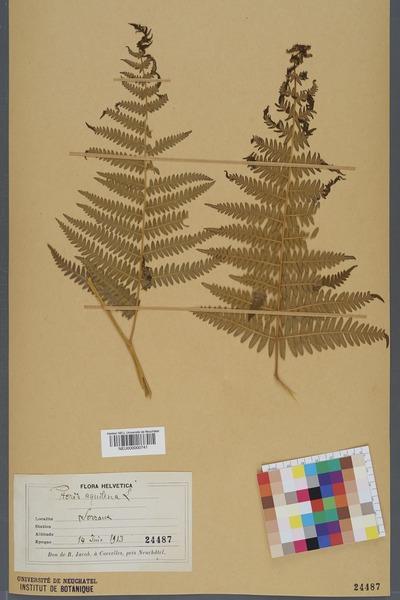 File:Neuchâtel Herbarium - Pteridium aquilinum - NEU000000741.tiff