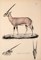 Neue Wirbelthiere zu der Fauna von Abyssinien gehörig (1835) Oryx beisa.png
