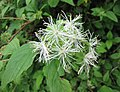 Neviusia alabamensis -比利時 Ghent University Botanical Garden, Belgium- (9227008067).jpg