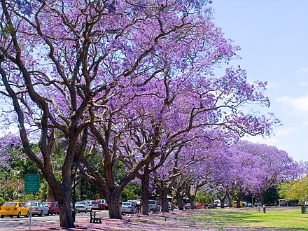 Jacaranda trees in bloom at New Farm Park New Farm Park Jacaranda-001+ (273298097).jpg