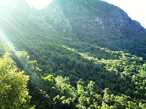 Newlands Forest - Newlands Forest, the indigenous forests of the upper slopes viewed from the south