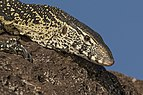 Nile monitor lizard (Varanus niloticus) head.jpg