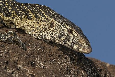File:Nile monitor lizard (Varanus niloticus) head