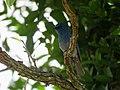 Nilgiri flycatcher IMG 5590.jpg
