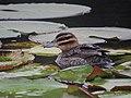 Nomonyx dominicus Pato enmascarado Masked Duck (female) (12267532425).jpg