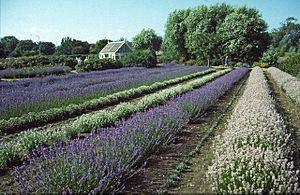 Heacham -  Lavender fields