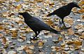 Northwestern Crow (Corvus caurinus) autumn colours 3.jpg