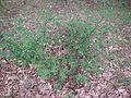Not poison oak, but grows in same area.JPG