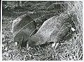 Notornis on game farm, Mount Bruce, Masterton, 1966 (6).jpg