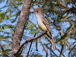 Nuttings Flycatcher (Myiarchus nuttingi) (8079389367).jpg