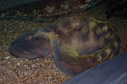 Ocean pout, Boston Aquarium.jpg