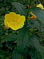 Oenothera biennis - Common evening primrose.jpg