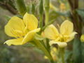 Oenothera parviflora close up flower.jpg
