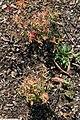 Oenothera perennis Cold Crick 1zz.jpg