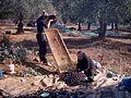 Olivenernte.JPG