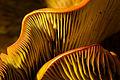 Omphalotus olivascens (Western Jack O'Lantern Mushroom) (23502341014).jpg