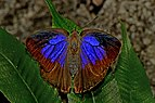 Open wing position of Female Flos areste Hewitson, 1862 – Tailless Plushblue 1E7A1652.jpg
