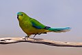 Orange-bellied Parrot (Neophema chrysogaster) (8079607050).jpg