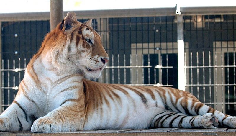 """Résultat de recherche d'images pour """"tigre doré"""""""