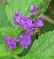 Orchid Bee. Euglossa sp. - Flickr - gailhampshire (1).jpg
