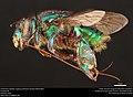 Orchid bee (Apidae, Euglossa piliventris (Guérin-Méneville)) (36983668371).jpg
