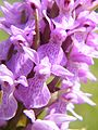 Orchis mâle (Orchis mascula) , Le Crotoy, Somme, Fr (5).jpg
