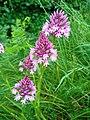 Orchis pyramidal - Ausson 02.jpg