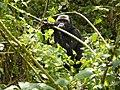 Oruzogo Mountain Gorilla (6734905491).jpg