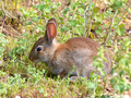 Oryctolagus cuniculus 00002.png