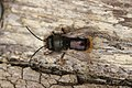 Osmia cornuta (33654168322).jpg