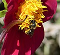 Osmia laeiana (35822713593).jpg
