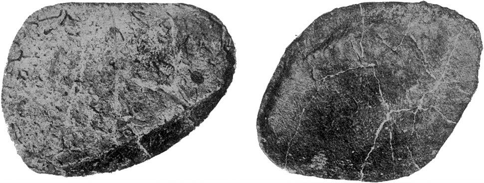 Osteoderms of Ankylosaurus