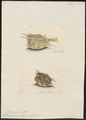 Ostracion cornutus - 1700-1880 - Print - Iconographia Zoologica - Special Collections University of Amsterdam - UBA01 IZ15400273.tif