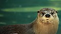 Otter-near-water-wildlife 3 - West Virginia - ForestWander.jpg